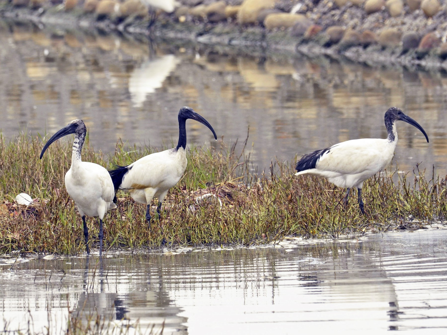 African Sacred Ibis - 智偉(Chih-Wei) 張(Chang)