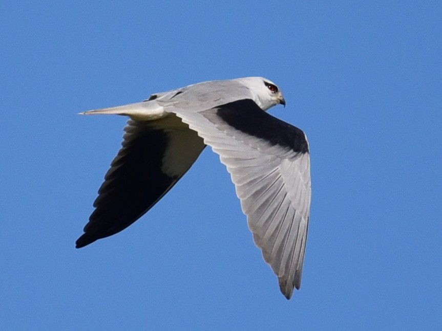 Black-winged Kite - Da Chih Chen