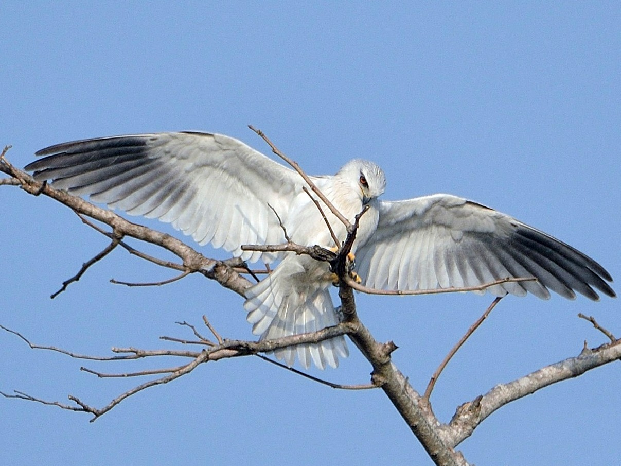 Black-winged Kite - Bhaskar pandeti