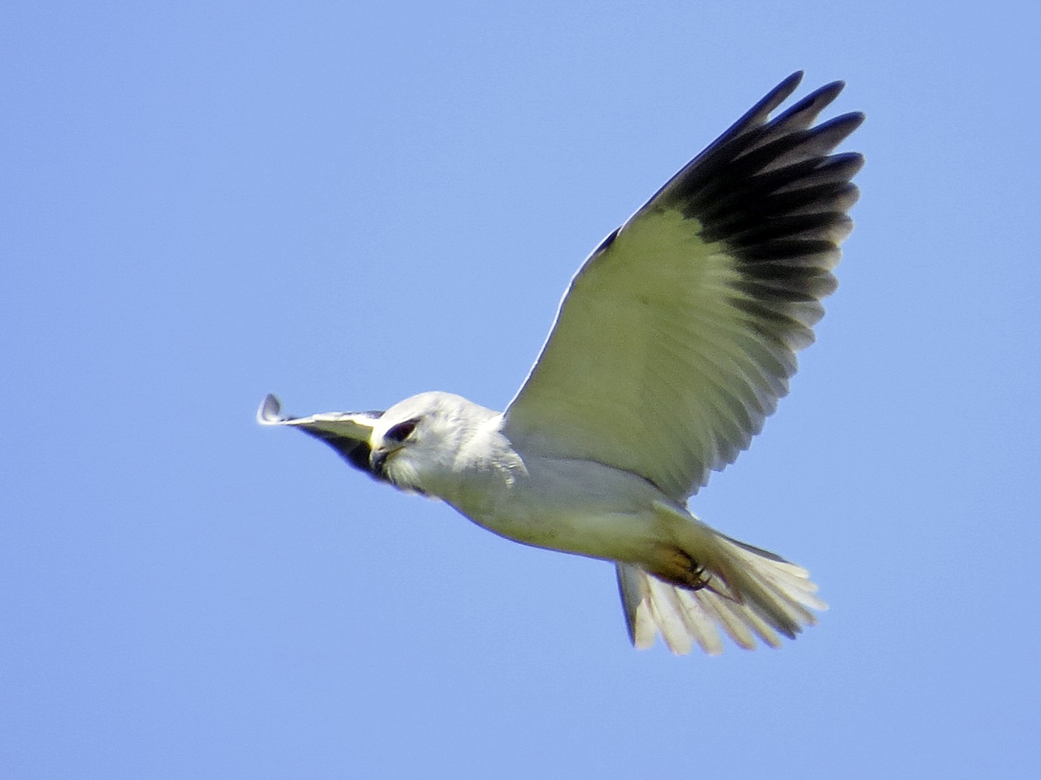 Black-winged Kite - Jim Sweeney