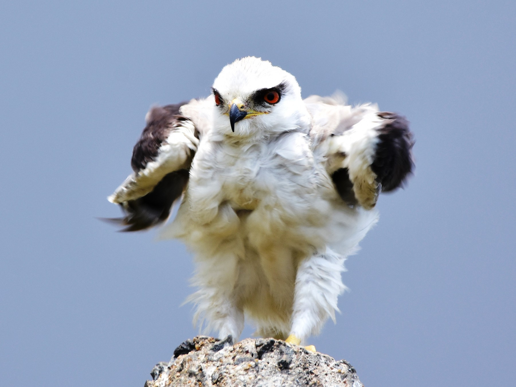 Black-winged Kite - TheNatureTrust (GroupAccount)