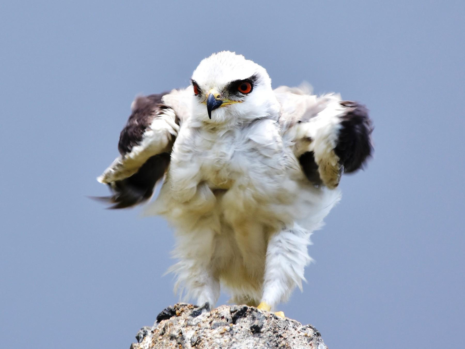 Black-winged Kite - TheNatureTrust (GroupAccount)