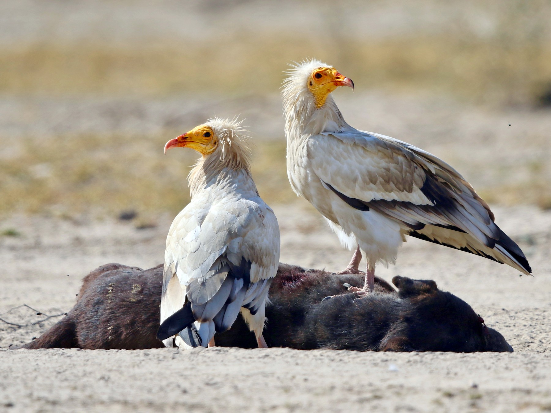 Egyptian Vulture - Stefan  Hirsch