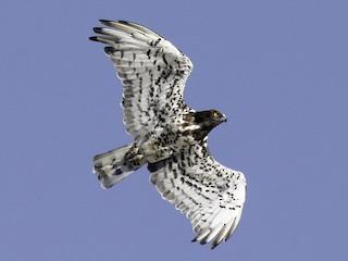- Short-toed Snake-Eagle