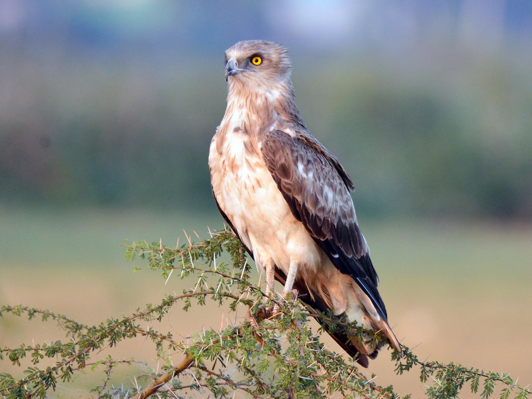 Short-toed Snake-Eagle - Snehasis Sinha