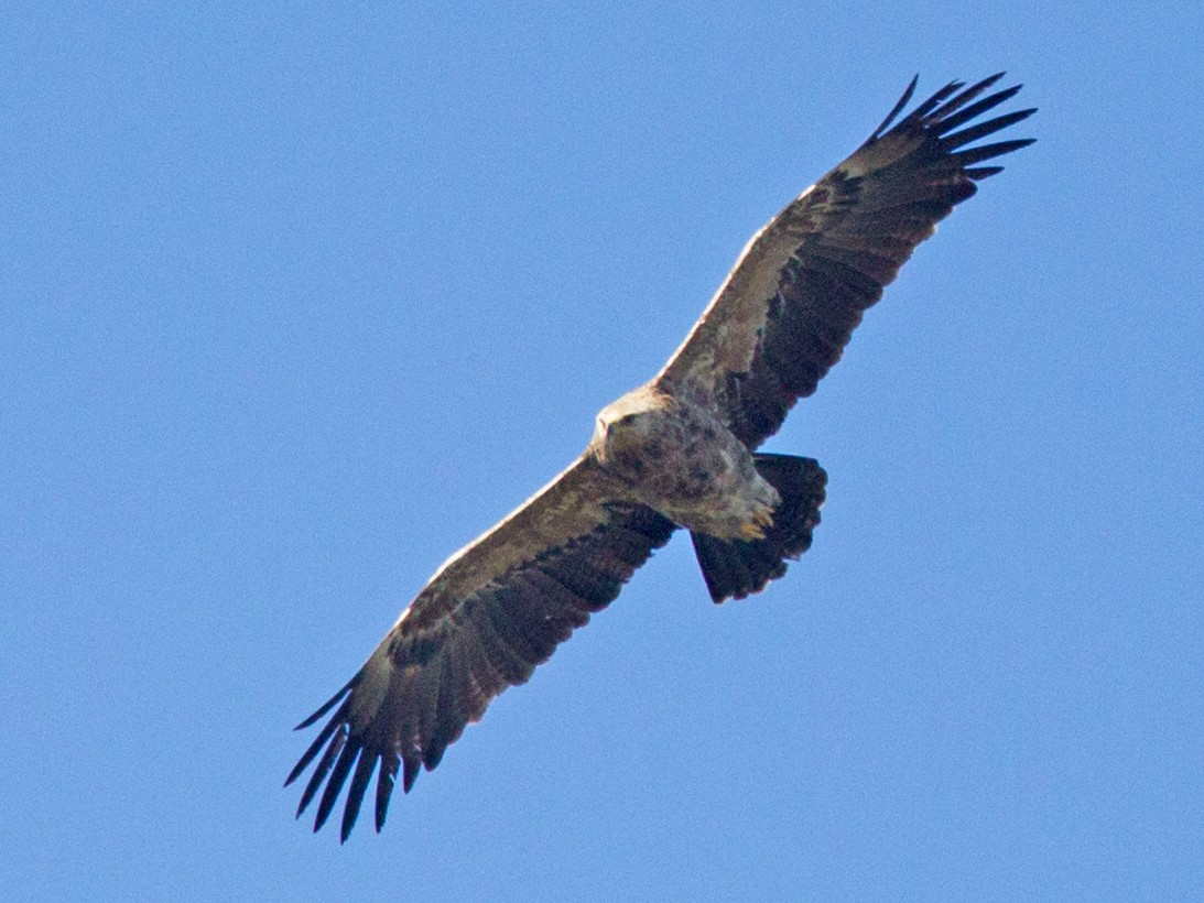 Lesser Spotted Eagle - Robert Lewis