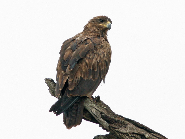 Lesser Spotted Eagle - Daniel Jauvin