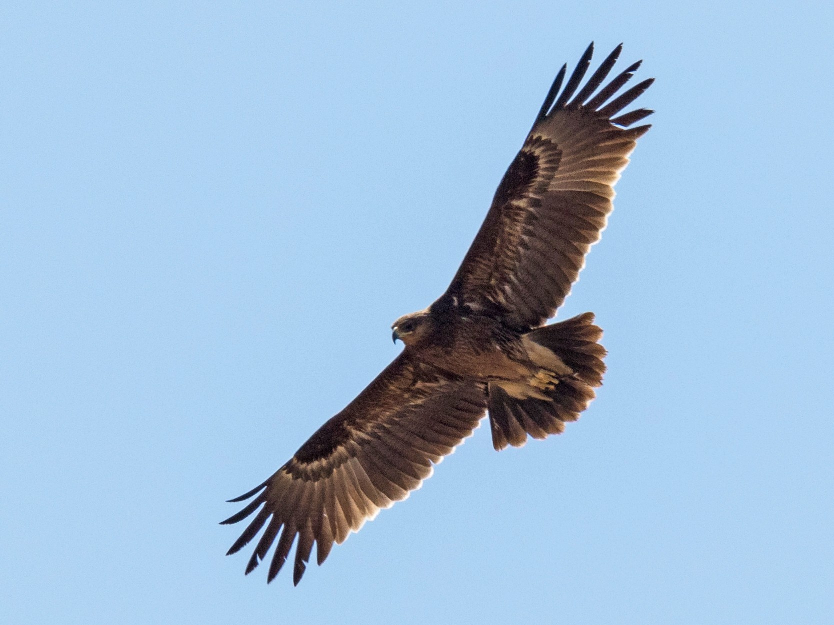 Lesser Spotted Eagle - Markus Craig