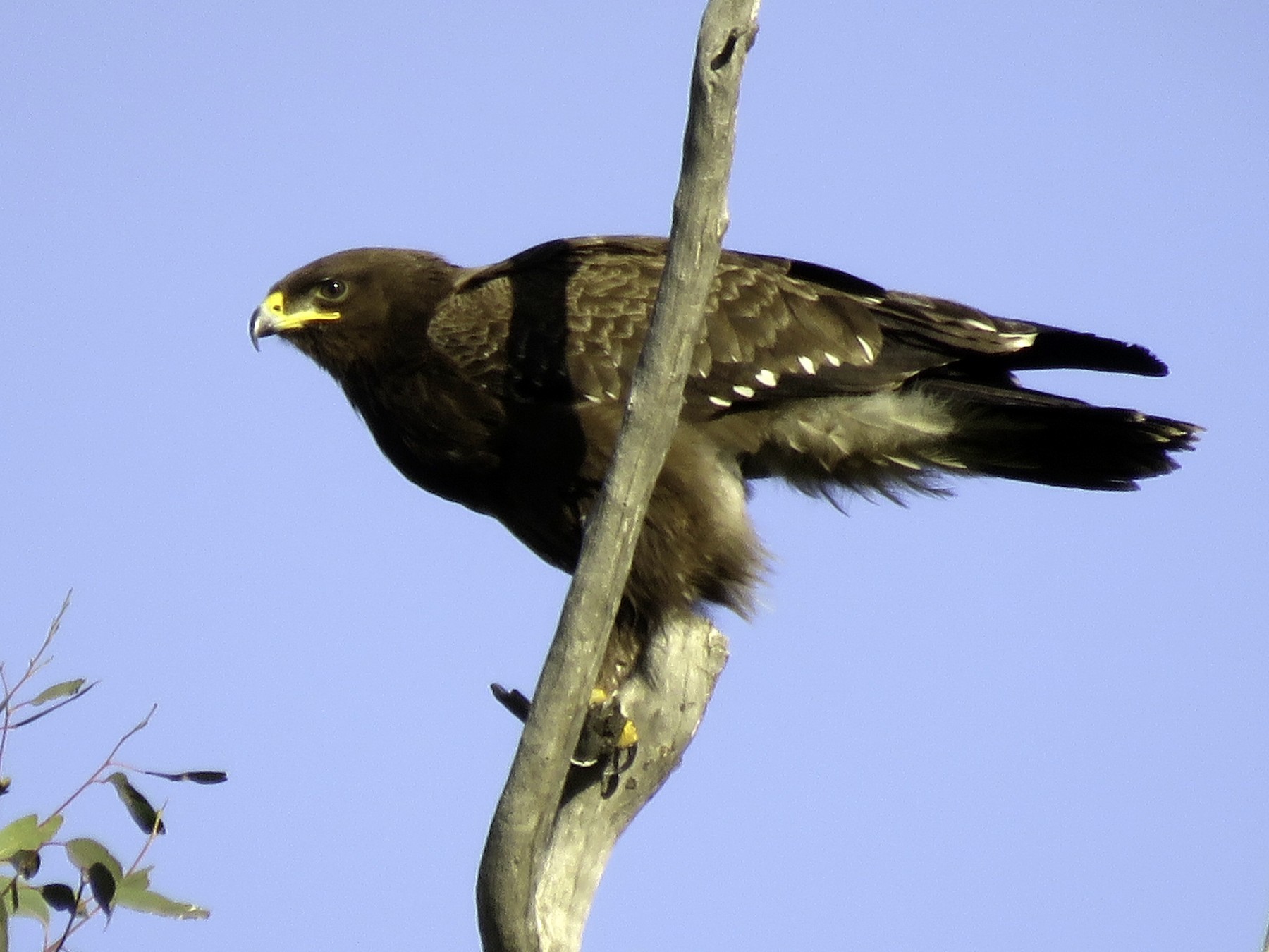 Lesser Spotted Eagle - Pablo Santonja