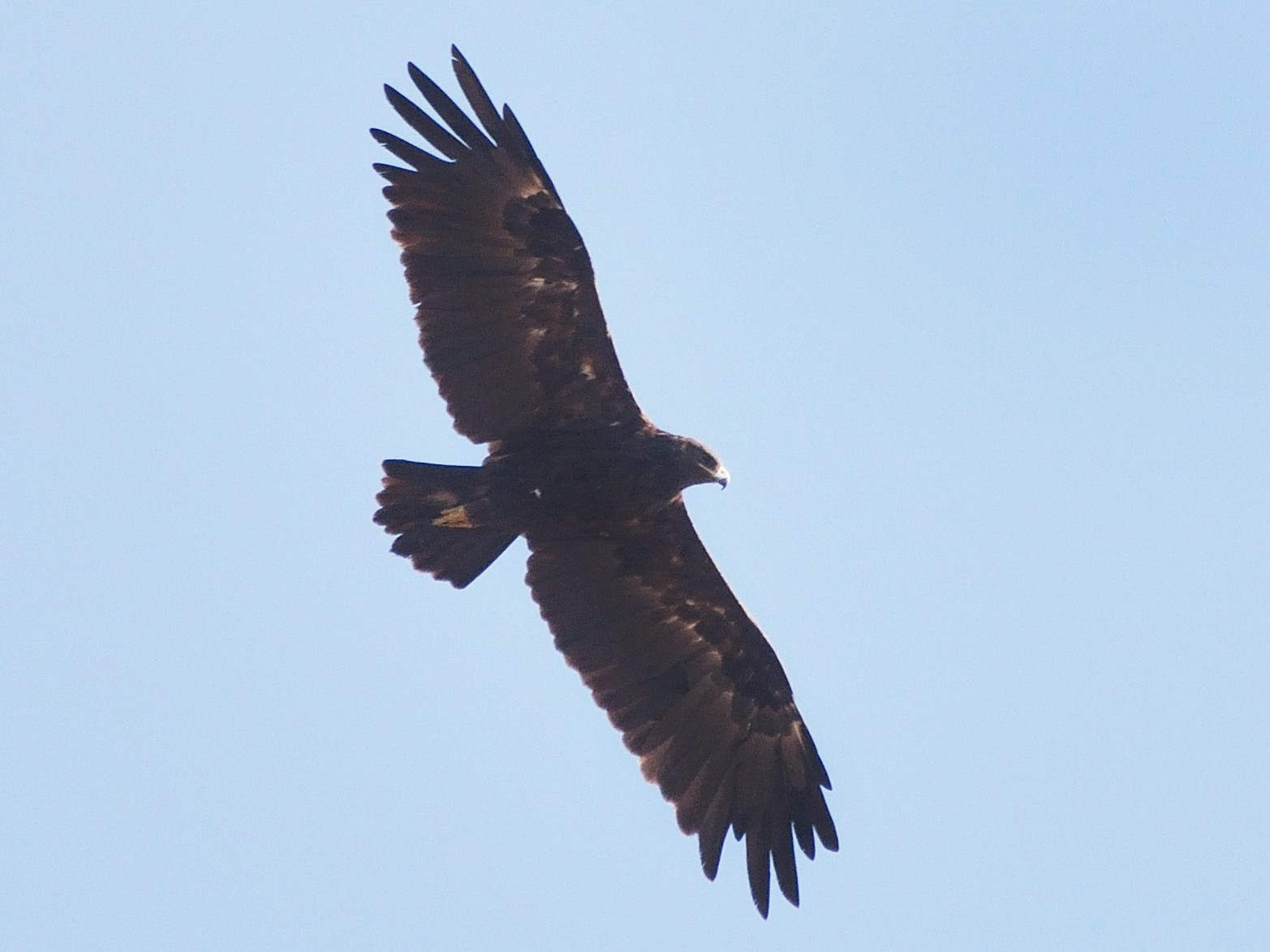 Greater Spotted Eagle - Sanjay Malik