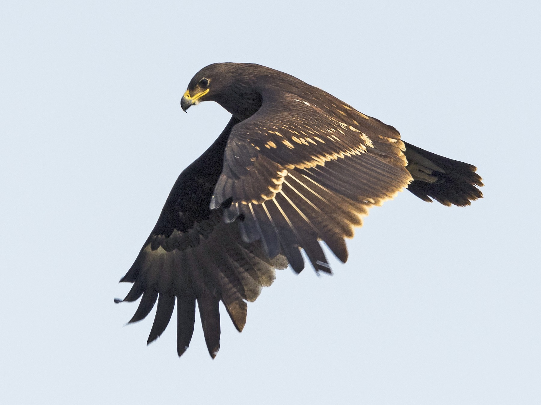 Greater Spotted Eagle - Markus Craig