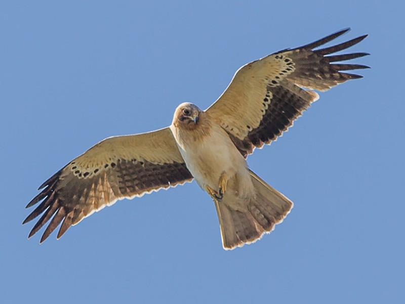 Booted Eagle - Luis Rodrigues