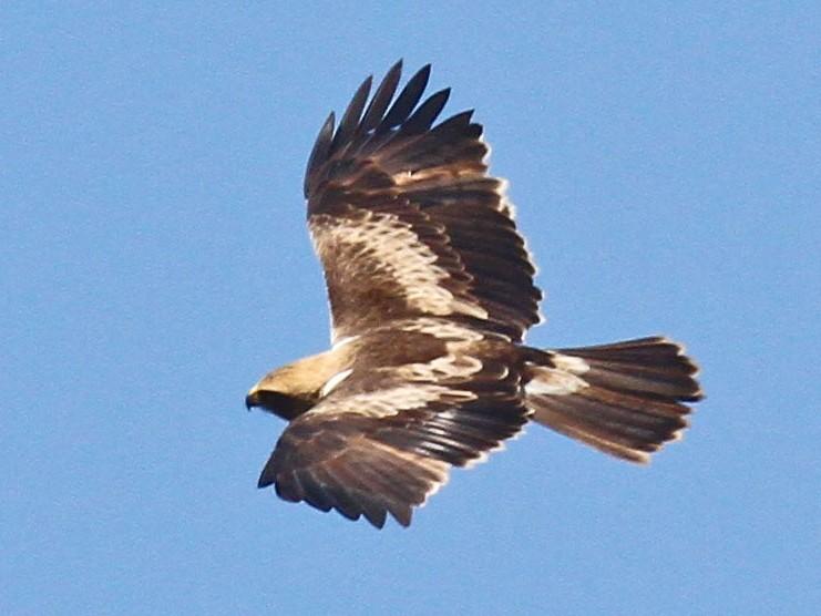 Booted Eagle - Volker Hesse