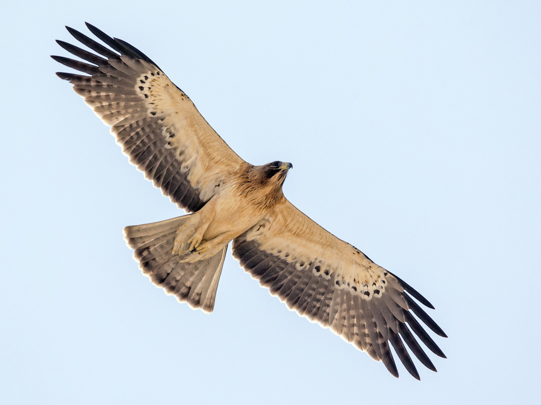 Booted Eagle - Omar alshaheen