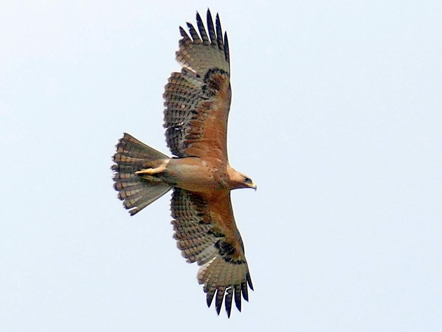 Bonelli's Eagle - Jaswinder Waraich