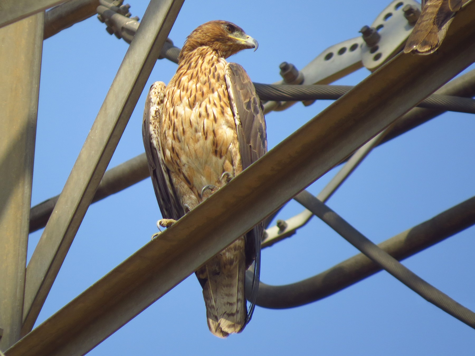 Bonelli's Eagle - Ritvik Singh