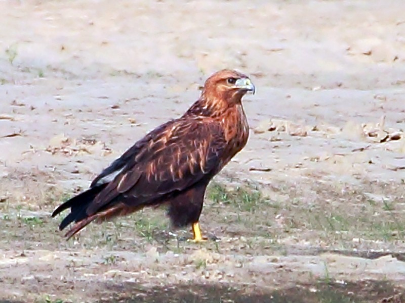 Long-legged Buzzard - SANDIPAN GHOSH