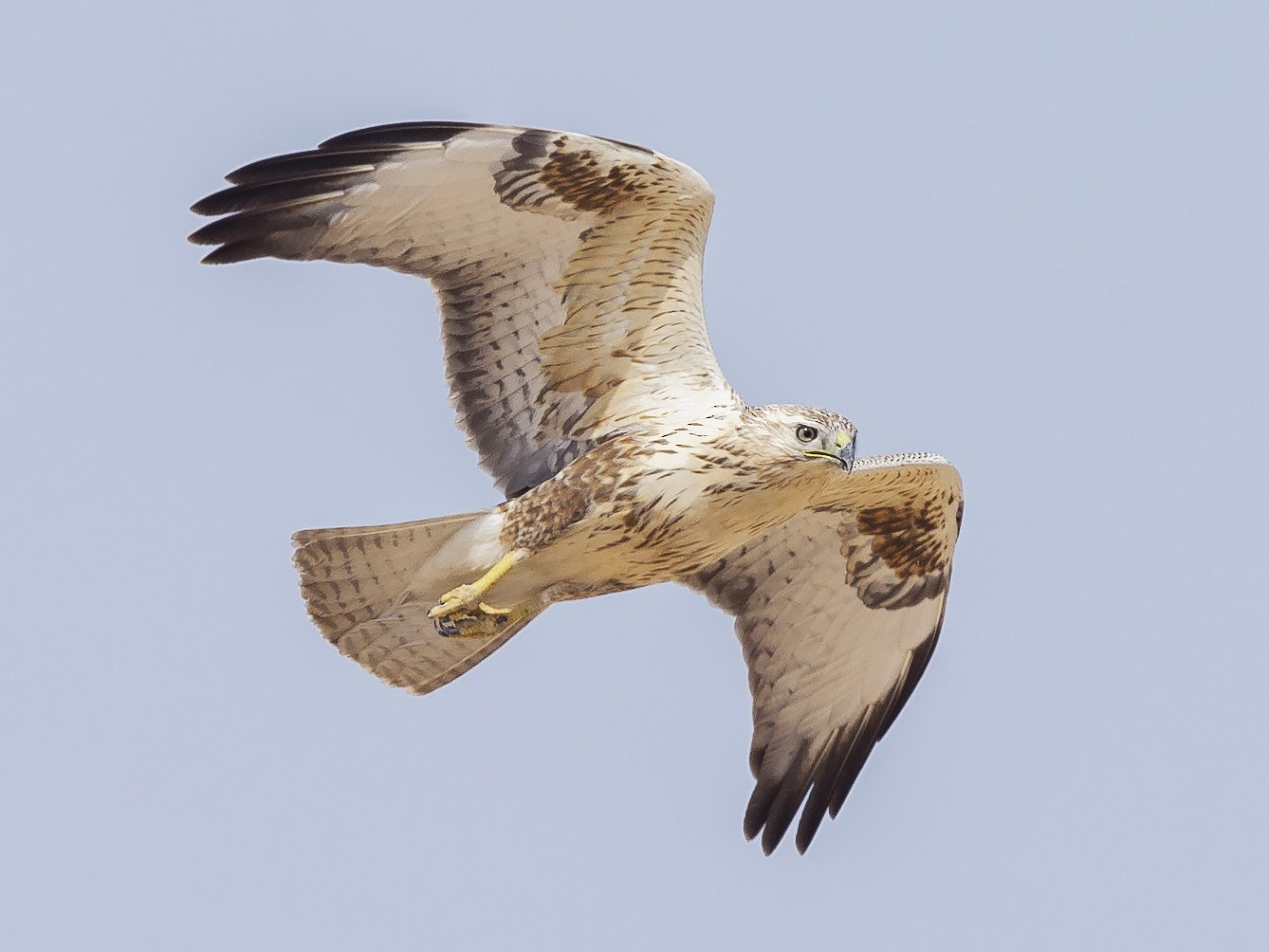 Long-legged Buzzard - Omar alshaheen