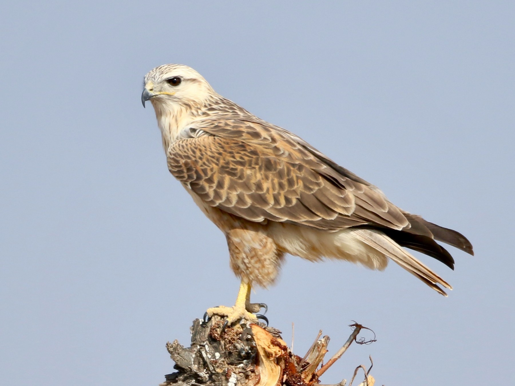 Long-legged Buzzard - Stefan  Hirsch