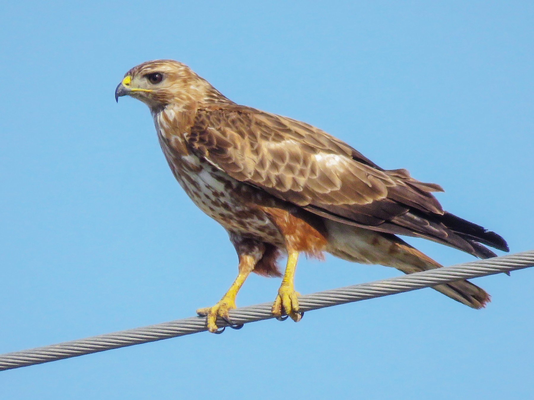Long-legged Buzzard - Dorna Mojab