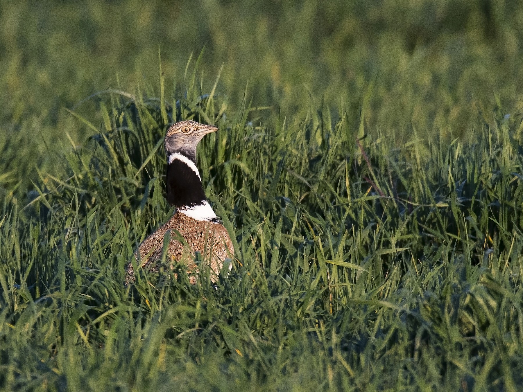 Little Bustard - Miguel Rouco