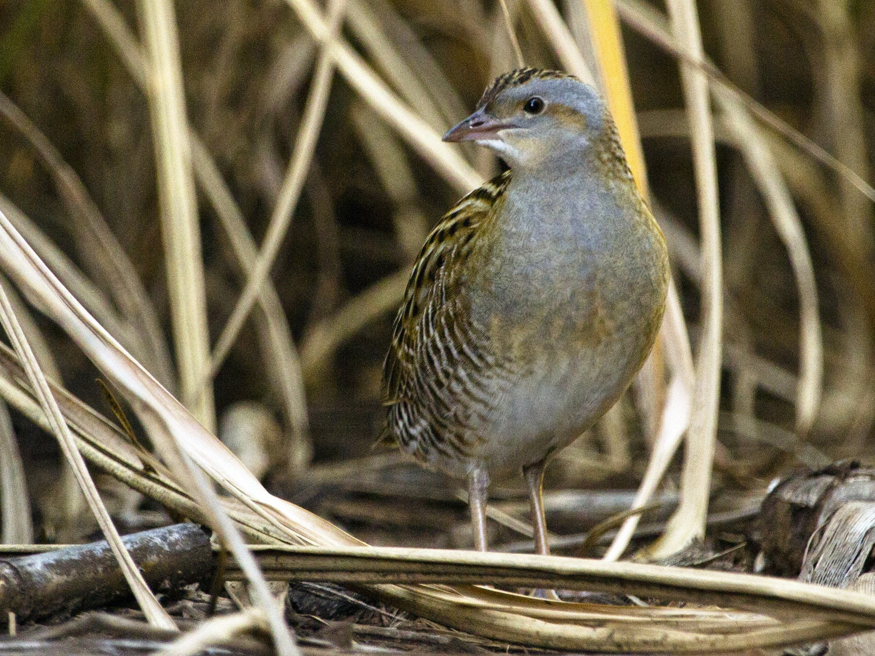 Corn Crake - Phil Stouffer