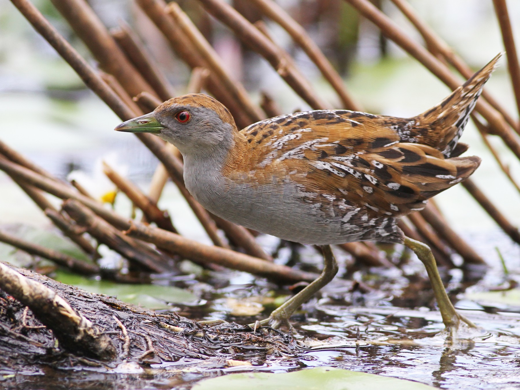 Baillon's Crake - Chris Wiley