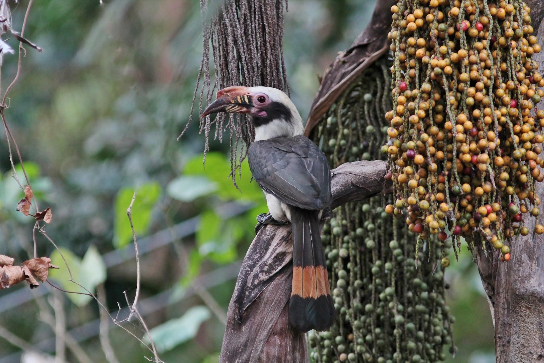 Luzon Hornbill - Rick Franks