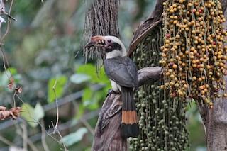 - Luzon Hornbill