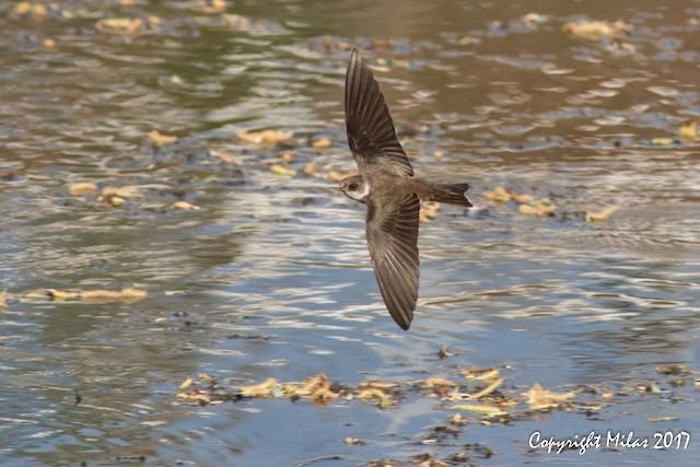 ©Milas Santos - Bank Swallow