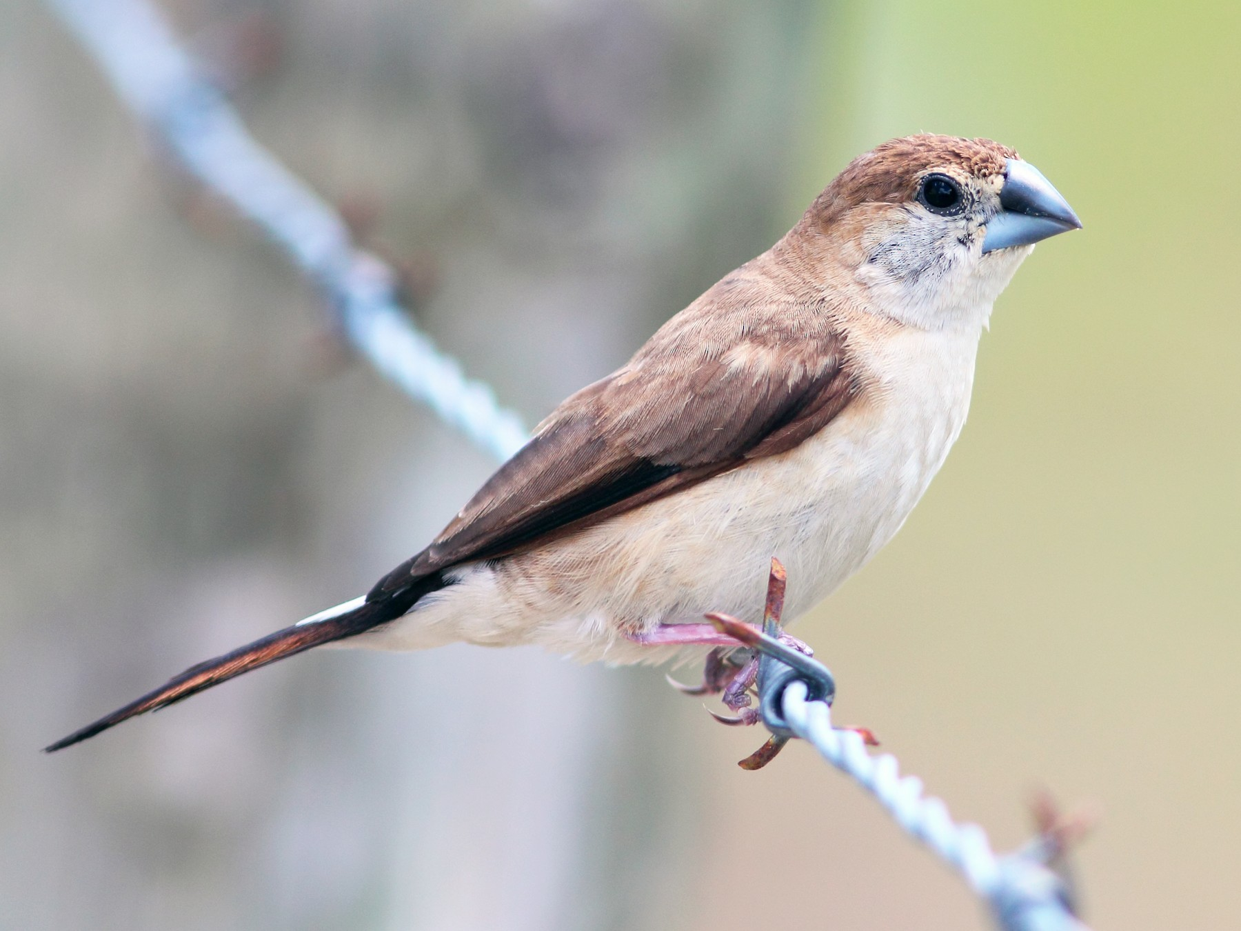 Indian Silverbill - Anonymous