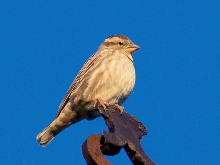 Rock Sparrow - John Reynolds