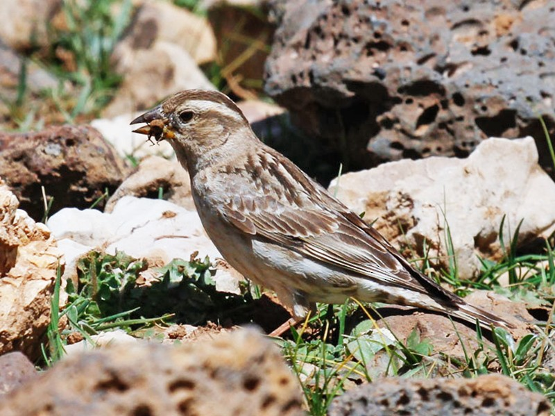 Rock Sparrow - James Kennerley 🦖