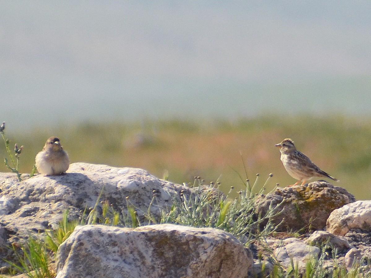 Rock Sparrow - Jerome-Yehuda Schwartz