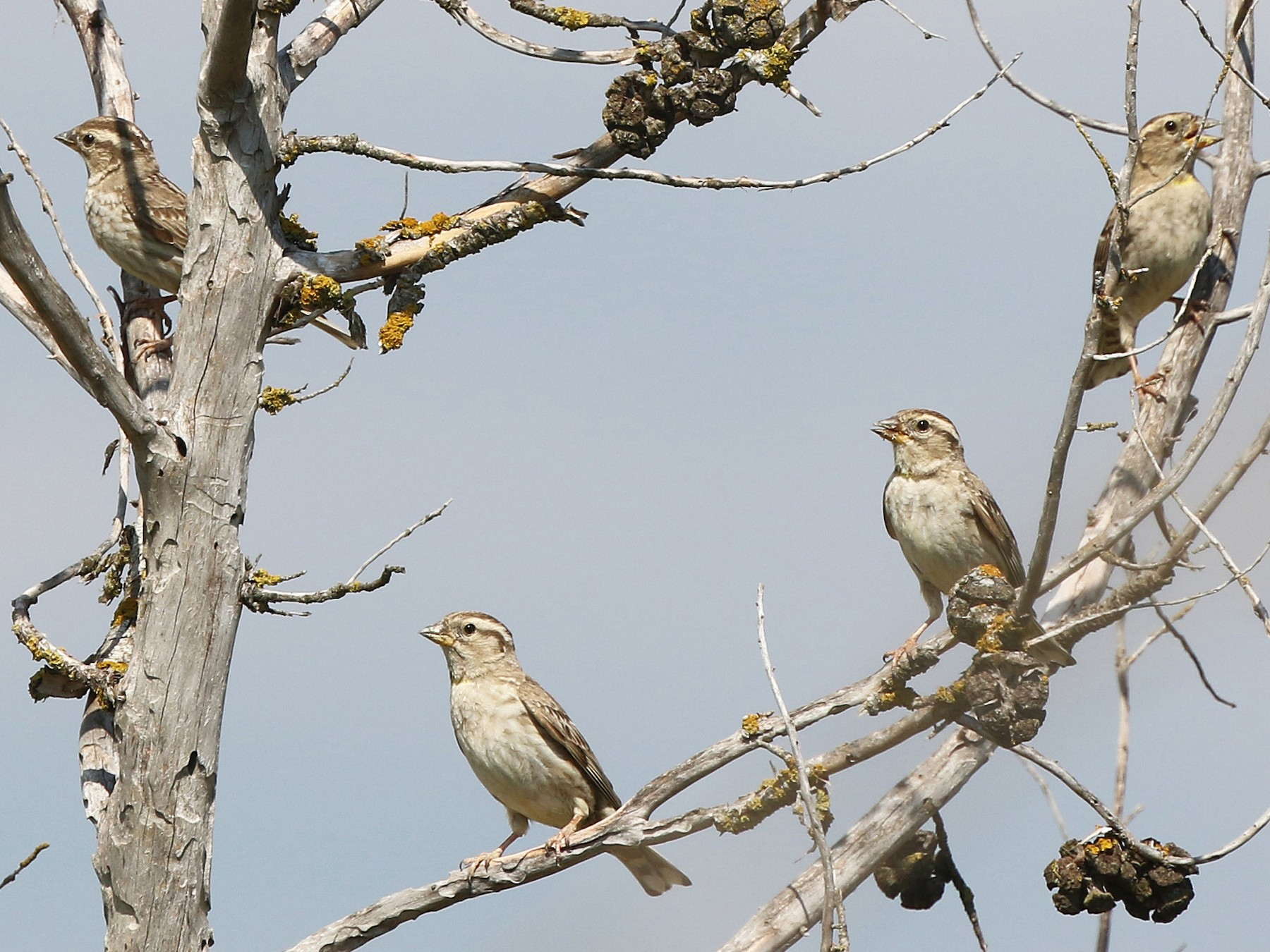 Rock Sparrow - Daniel Jauvin