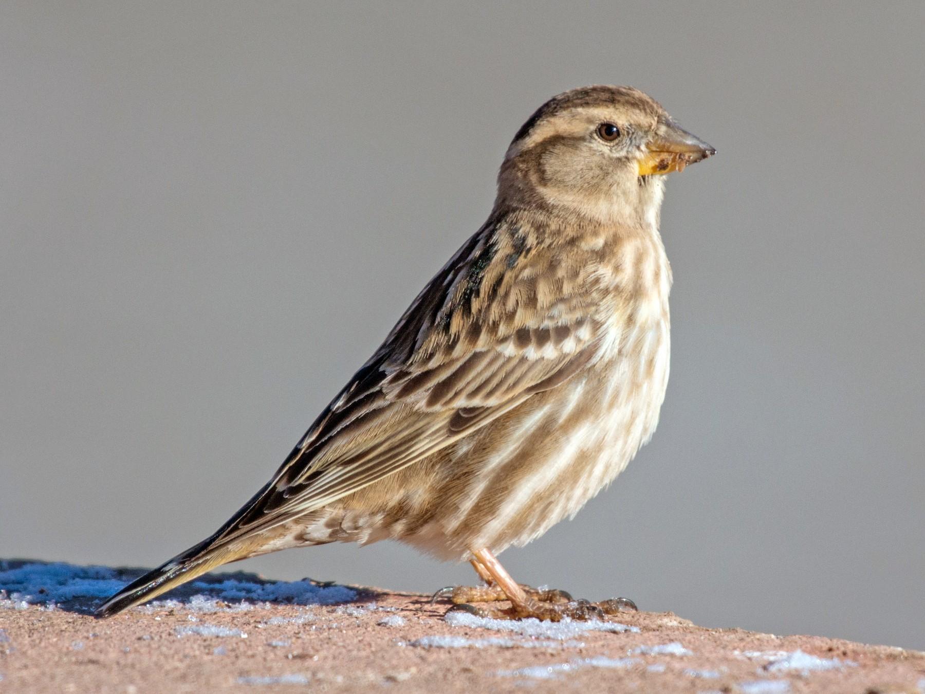 Rock Sparrow - John C. Mittermeier