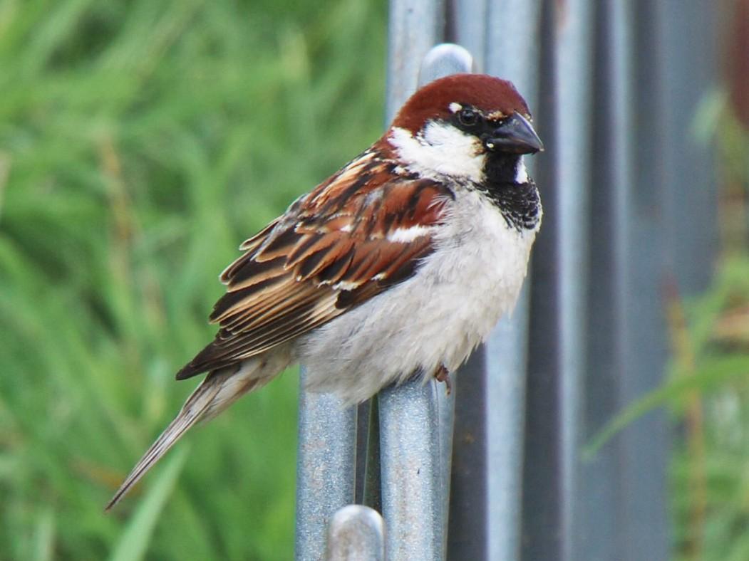 Italian Sparrow - Andrew and Rebecca Steinmann