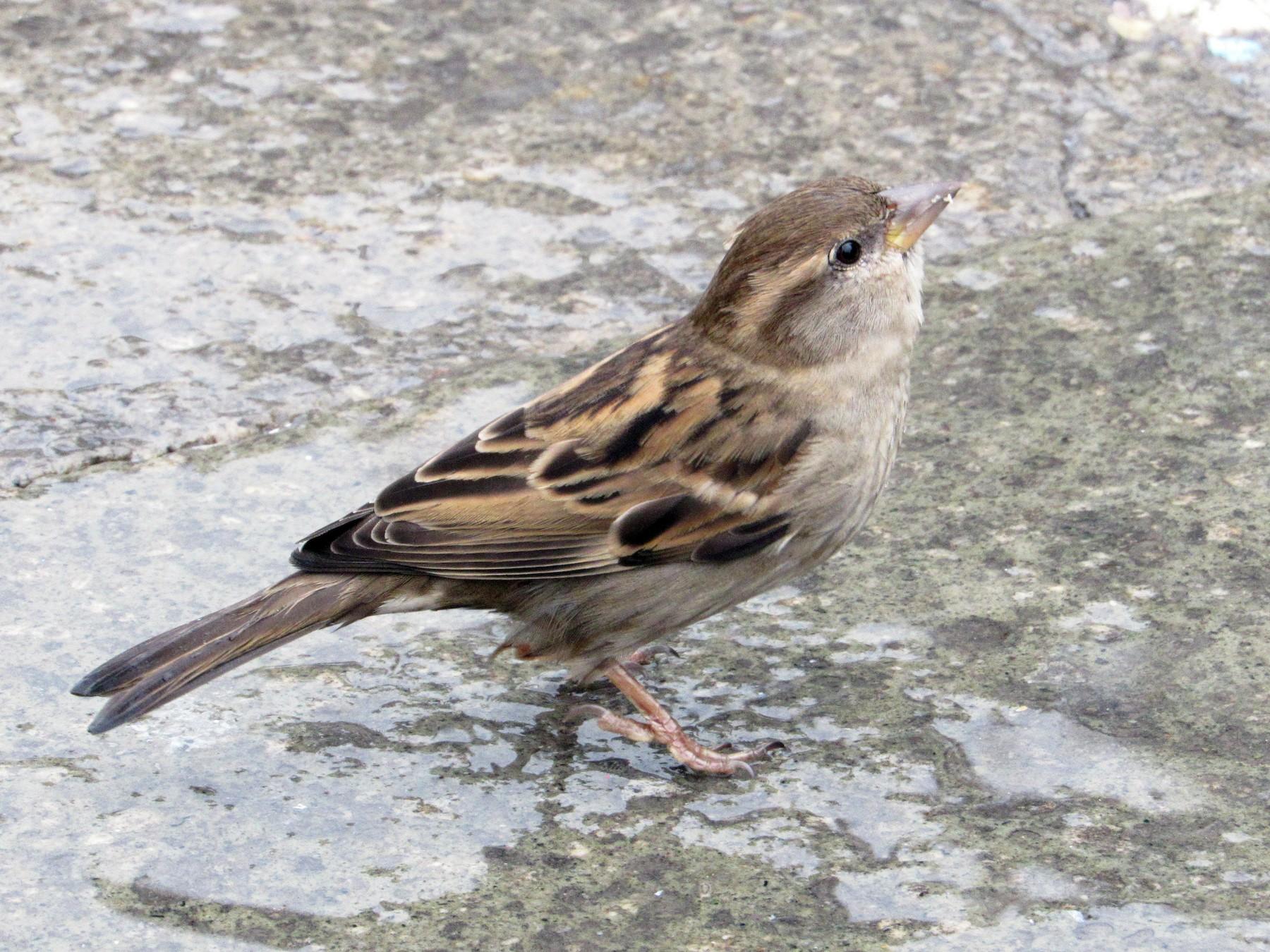 Italian Sparrow - Paulo Alves