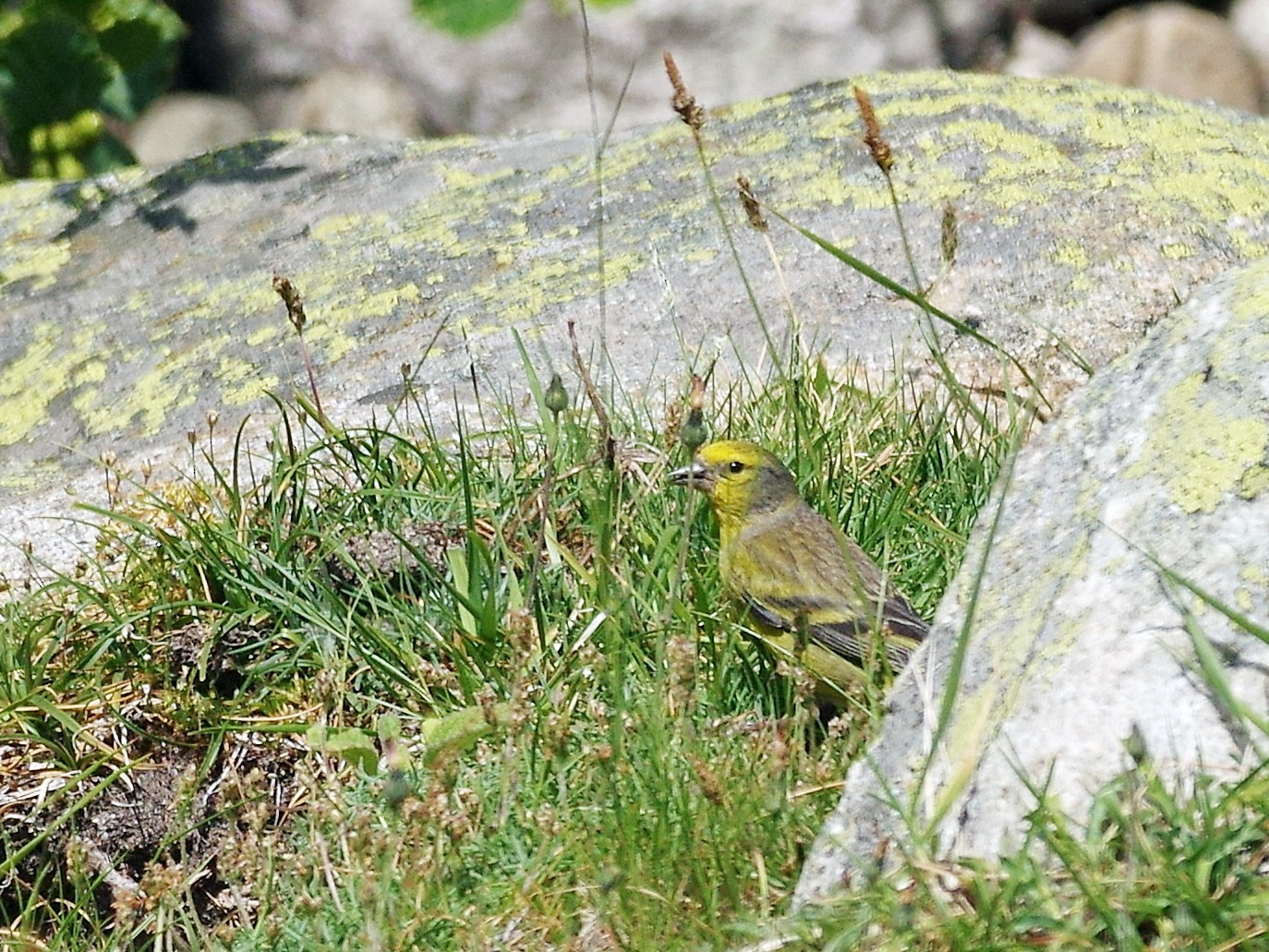 Corsican Finch - Thibaud Aronson
