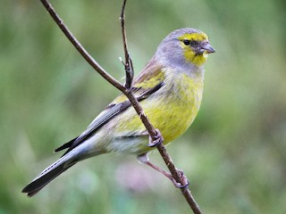 - Corsican Finch