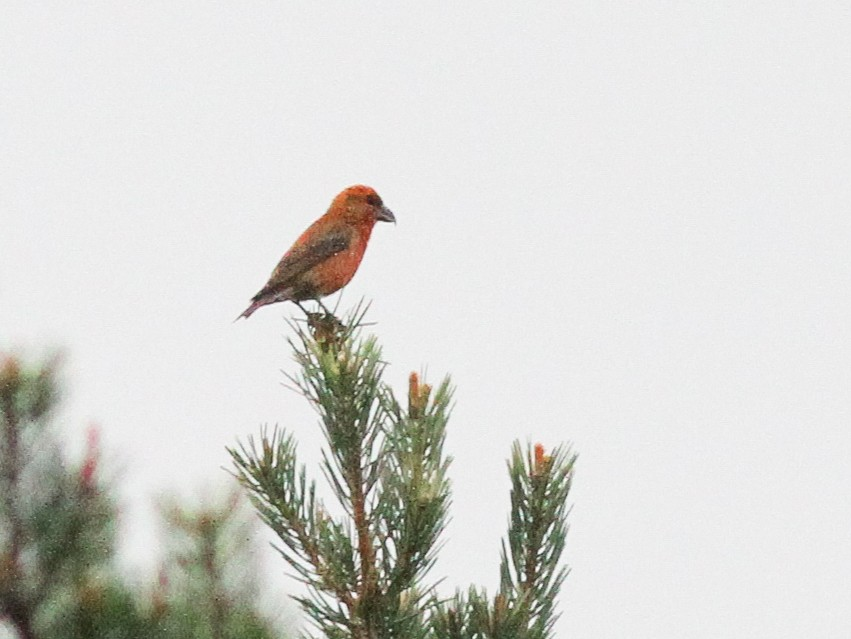 Scottish Crossbill - Steve Kelling