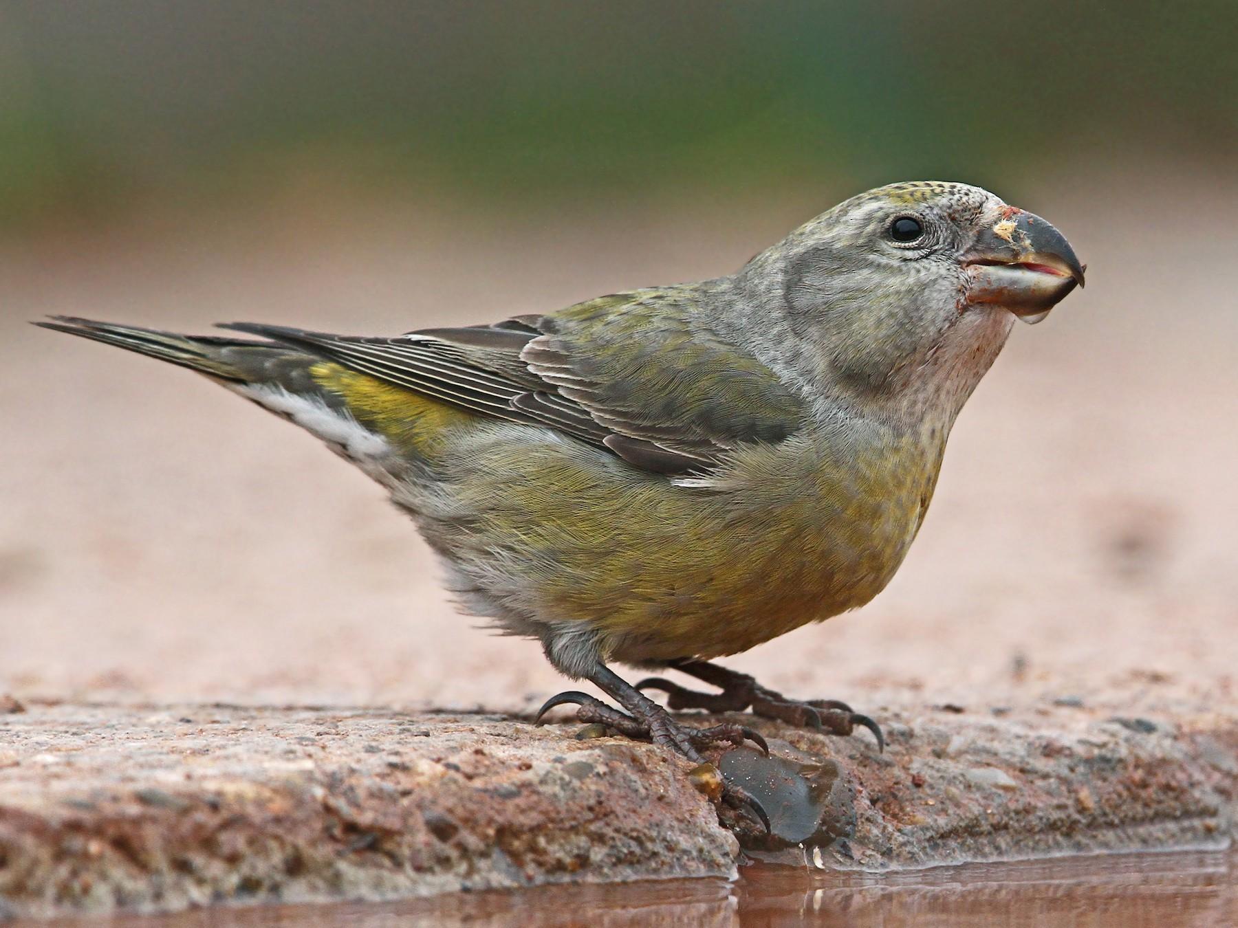 Parrot Crossbill - Volker Hesse
