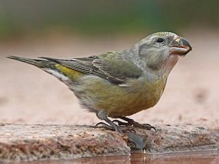 - Parrot Crossbill