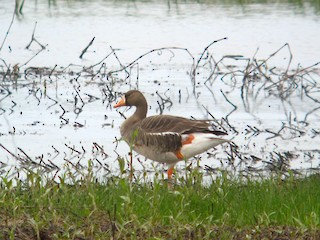 Greater White-fronted Goose, ML54529201