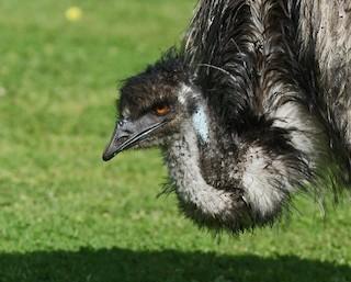 Emu, ML54591681