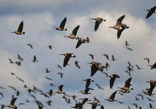 Cackling Goose, ML54724961