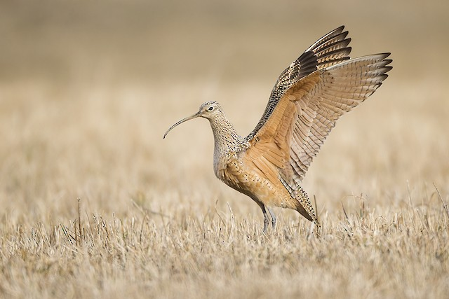 © Jeff Dyck - Long-billed Curlew