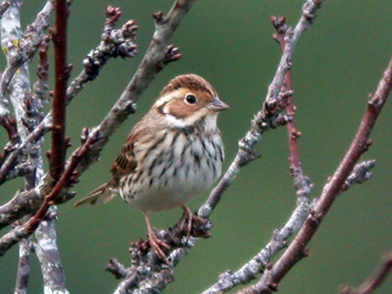 Little Bunting - Chris Wood