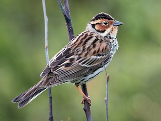 - Little Bunting