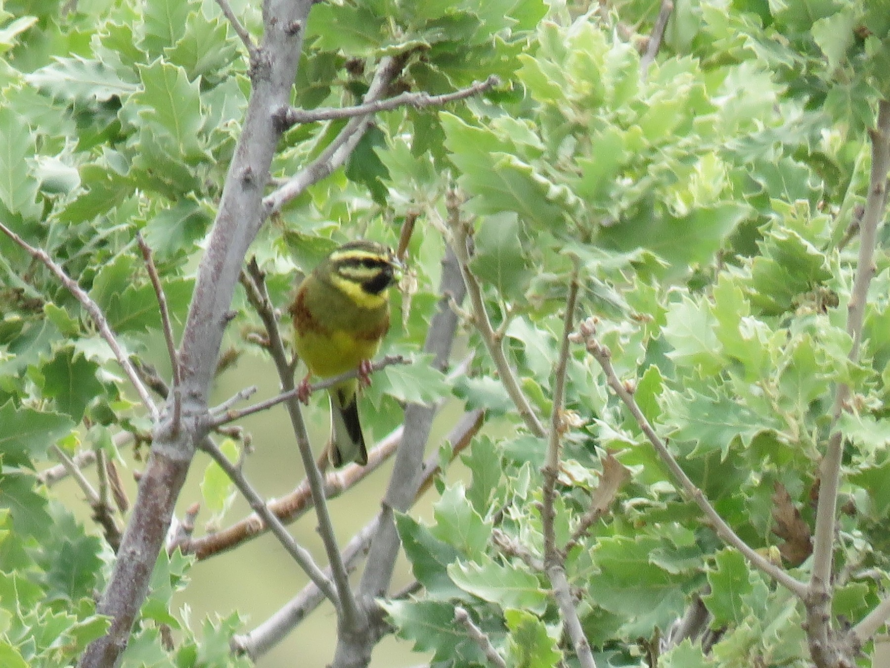 Cirl Bunting - Paul Wolter